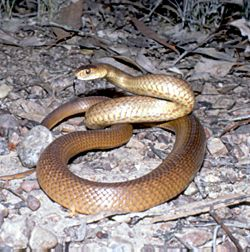 Common or Eastern Brown Snake
